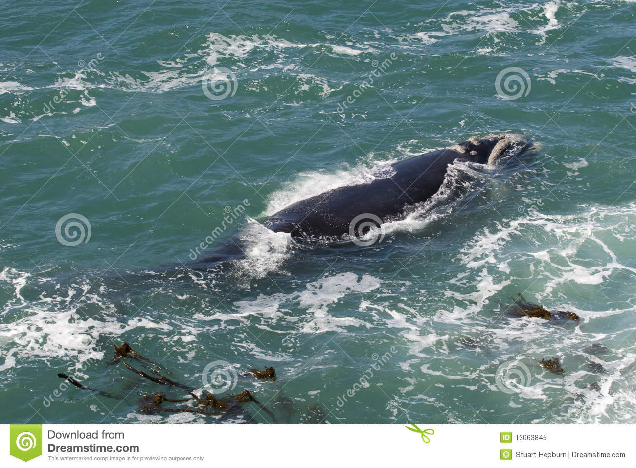 southern right whale royalty free stock photo image Blue Whale Krill Cartoon Krill