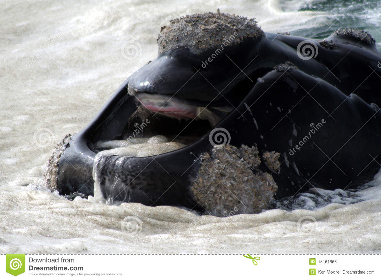 Southern right whale mouth stock photo. Image of hermanus ...