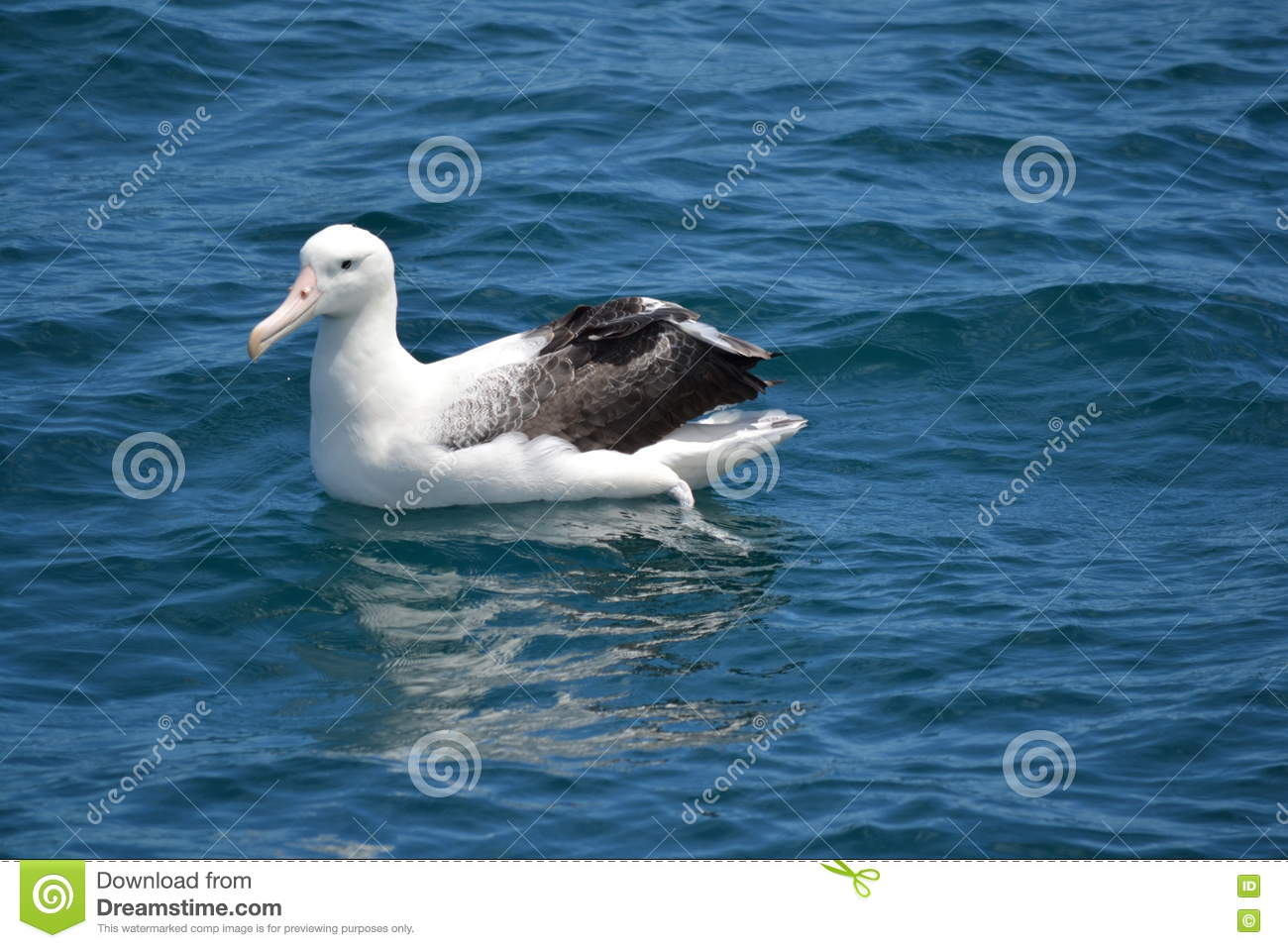 Southern Royal Albatross In Kaikoura New Zealand Stock Photo