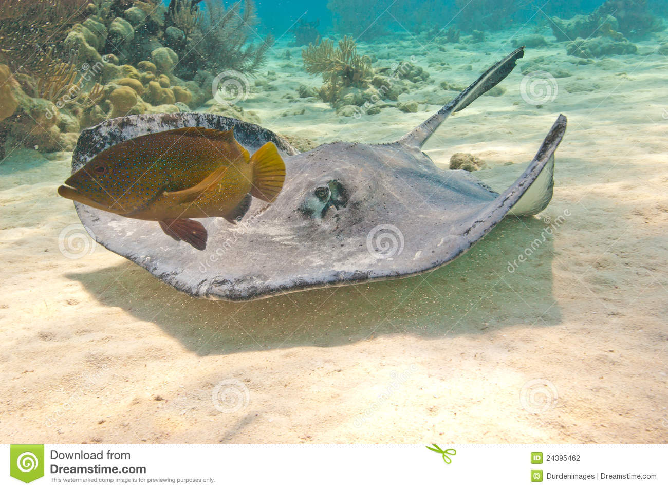 Southern stingray and fish stock photo image of creatures for Is a stingray a fish