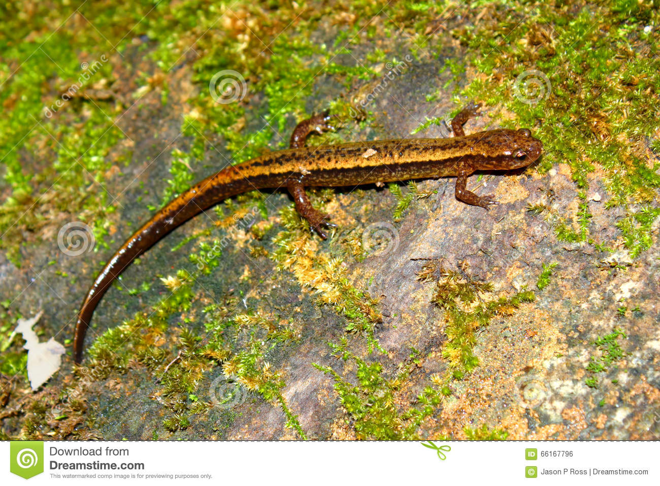 Southern Two-lined Salamander Indiana Stock Photo - Image: 67807644