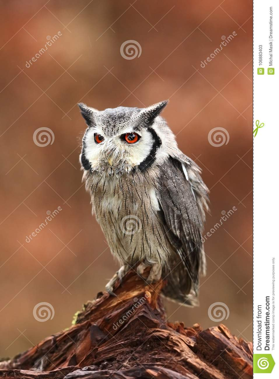 Southern White-faced Owl. Ptilopsis grants. African owl.