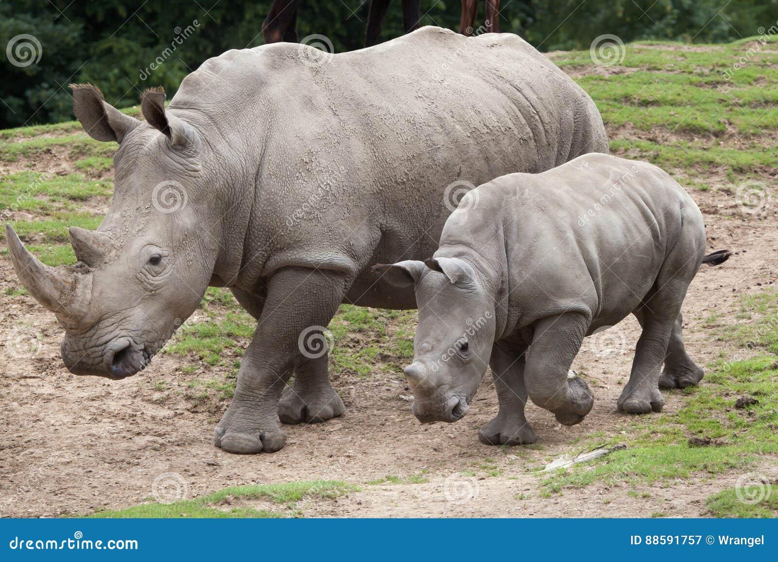 Southern white rhinoceros Ceratotherium simum.
