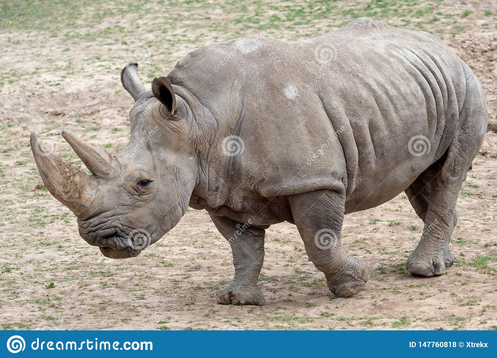 Southern white rhinoceros Ceratotherium simum simum. Critically endangered animal species