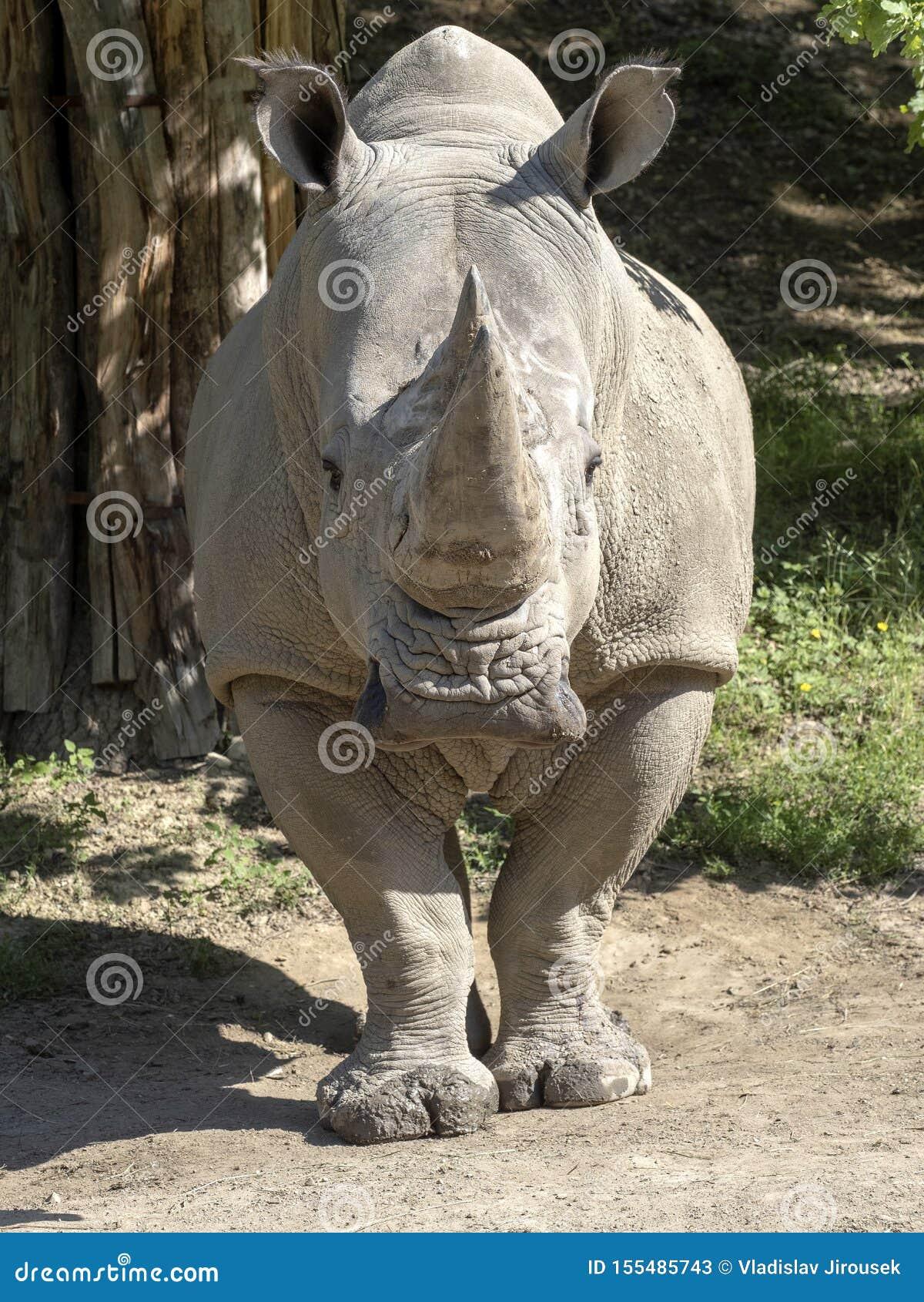 Southern White Rhinoceros, Ceratotherium simum simum, is threatened with extinction
