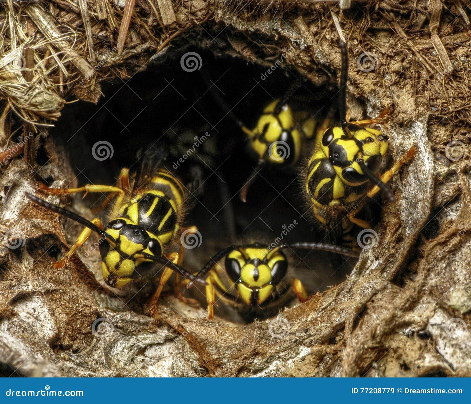 Southern Yellowjacket (Vespula Squamosa) Guarding Nest Hole ...