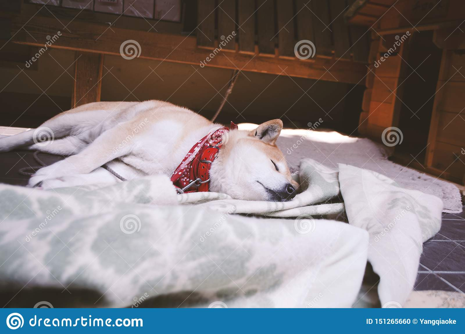 Sova den japanska Akita hunden i det Yoshida berget Nara