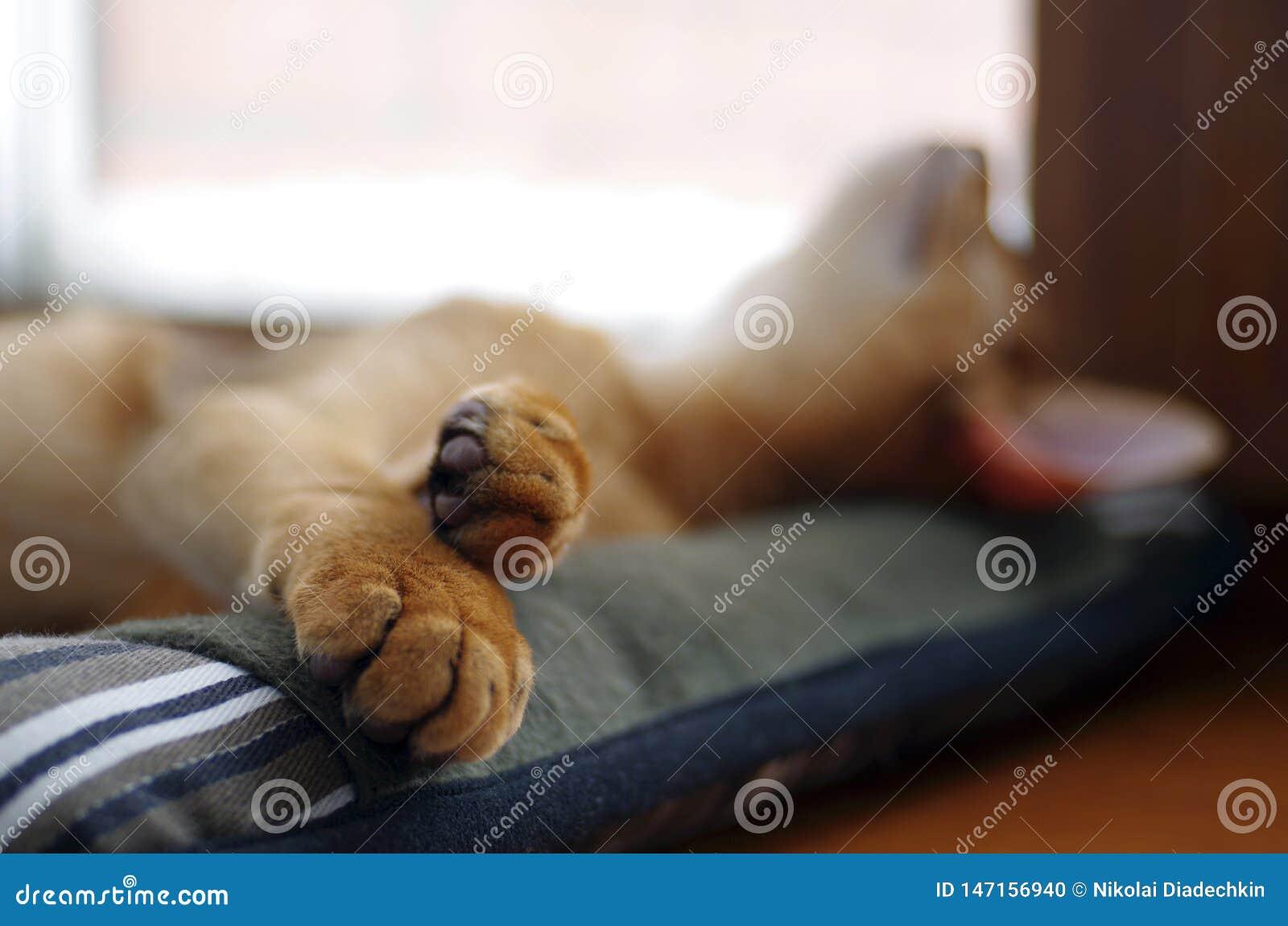 Sova den ljust rödbrun unga Abyssinian kattungen på den gråa kudden