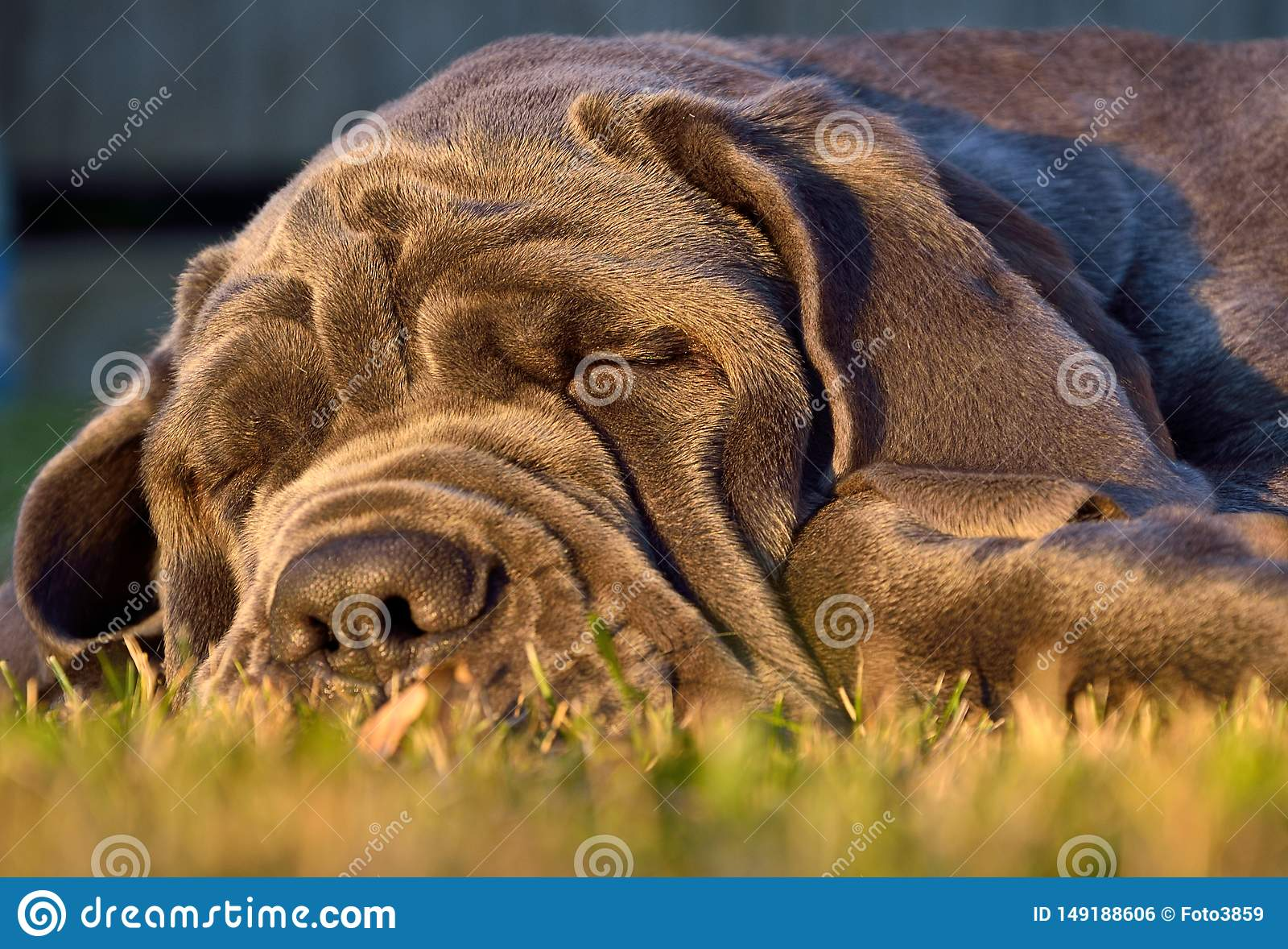 Sova den stora hundmastiffen p? gr?nt gr?s