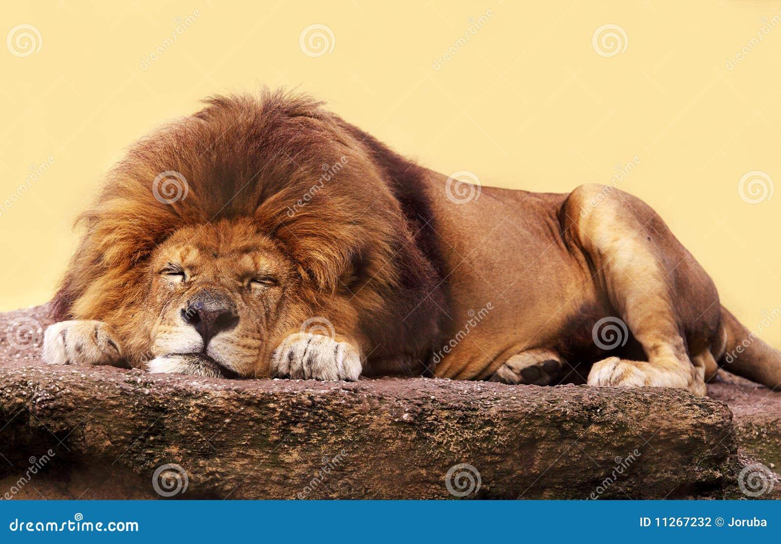 Sova för lion