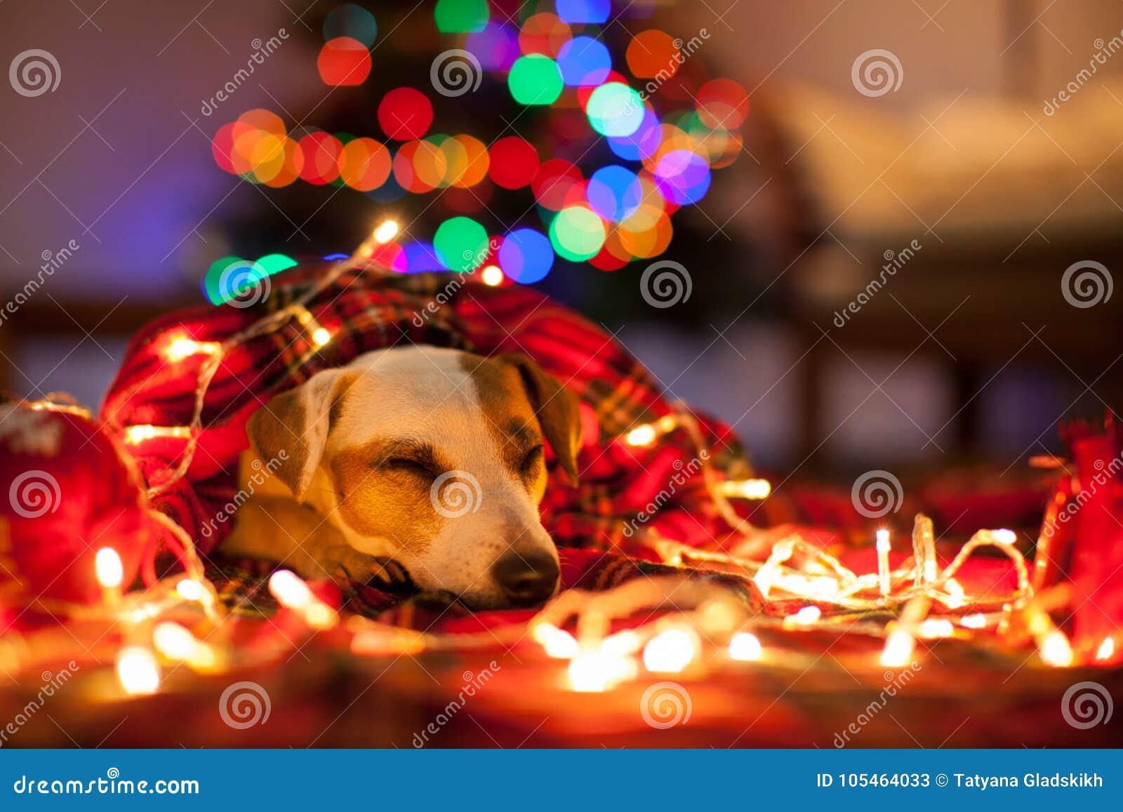 Sova hunden under julträd