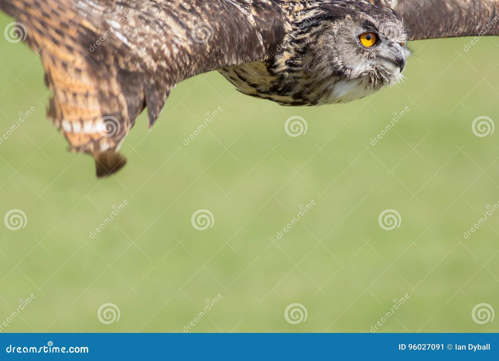 Sowy latanie Ptak zdobycza sztandaru lub plakata wizerunek z kopii przestrzenią