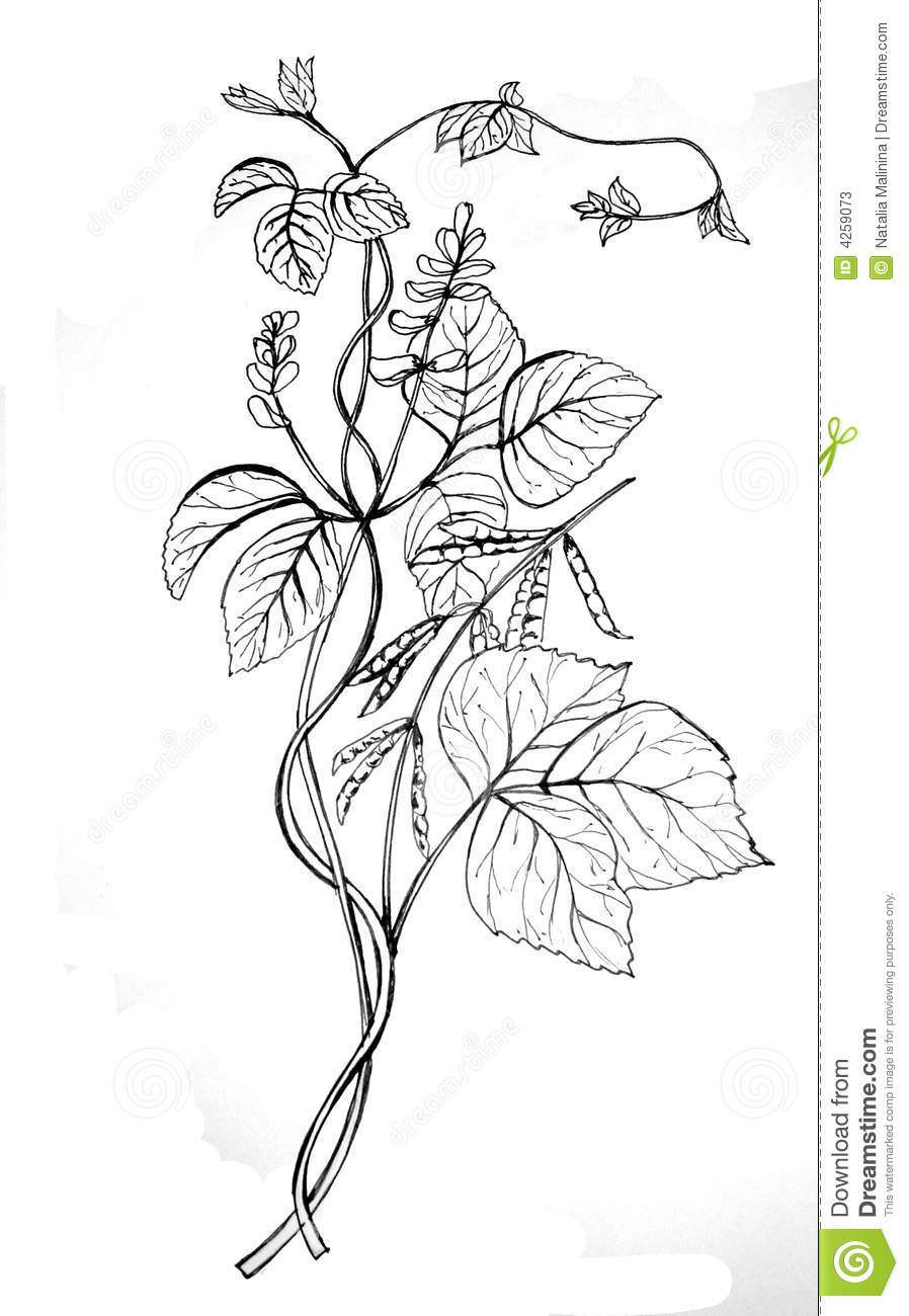 Soy bean drawing Bean Plant Drawing