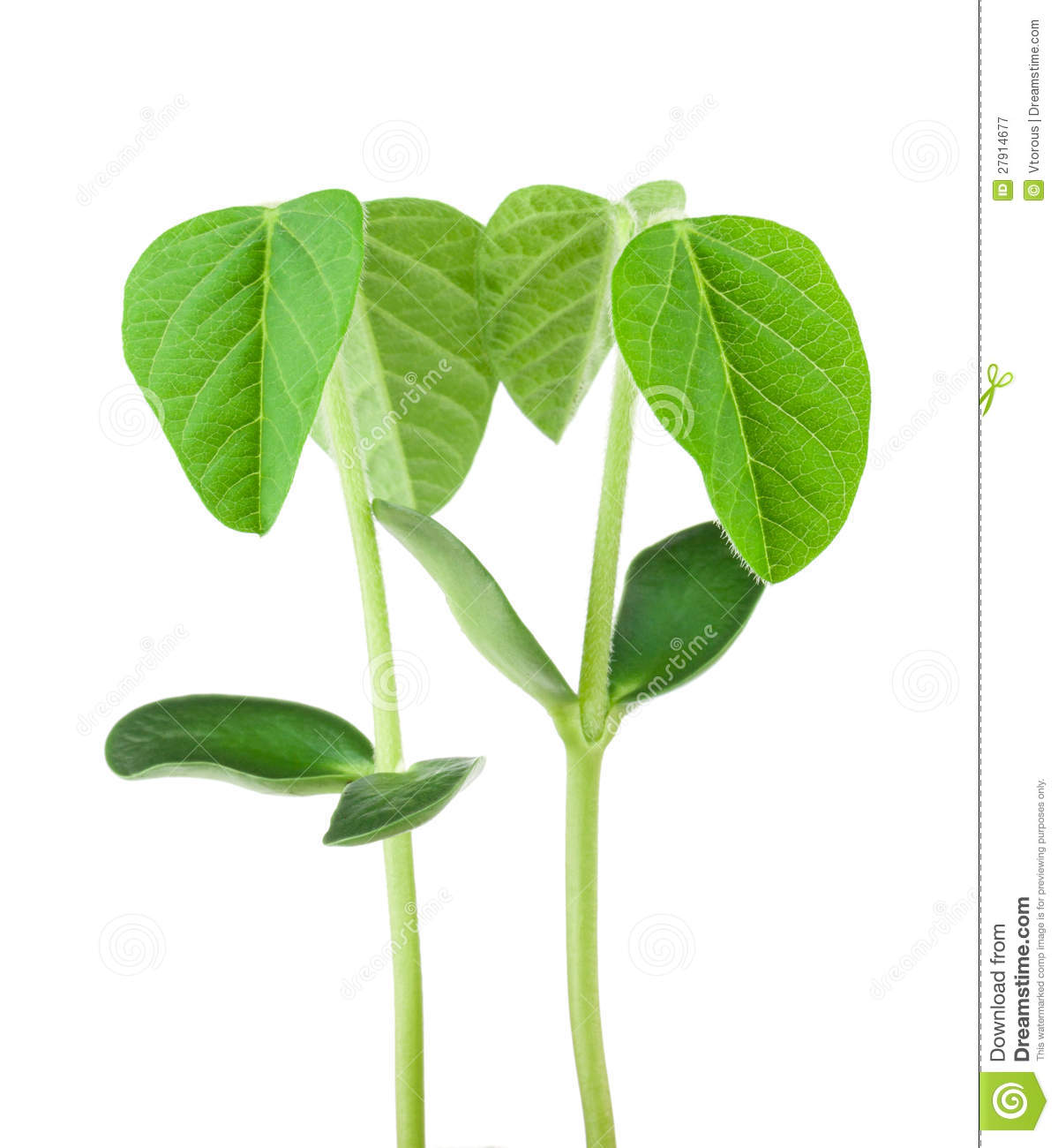 soy plant stock image image of leaf food life isolated 27914677. Black Bedroom Furniture Sets. Home Design Ideas
