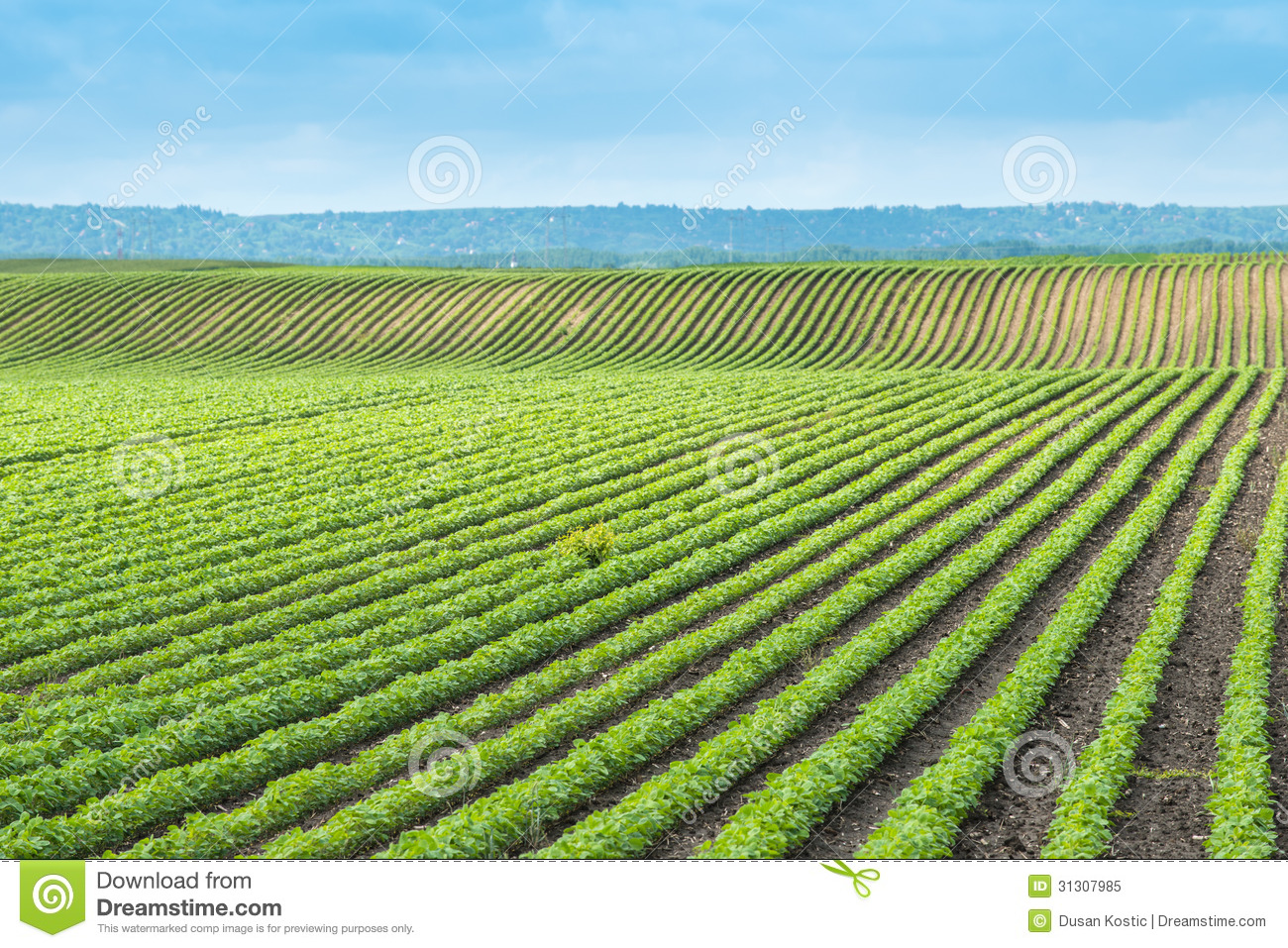 Soybean Field Royalty Free Stock Photo - Image: 31307985
