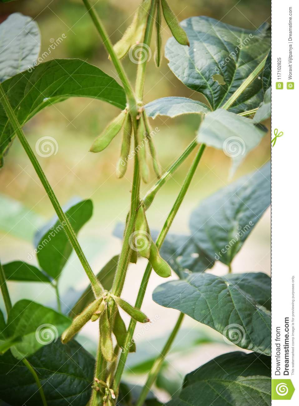 soybean plant on the tree stock image image of legume 117102825