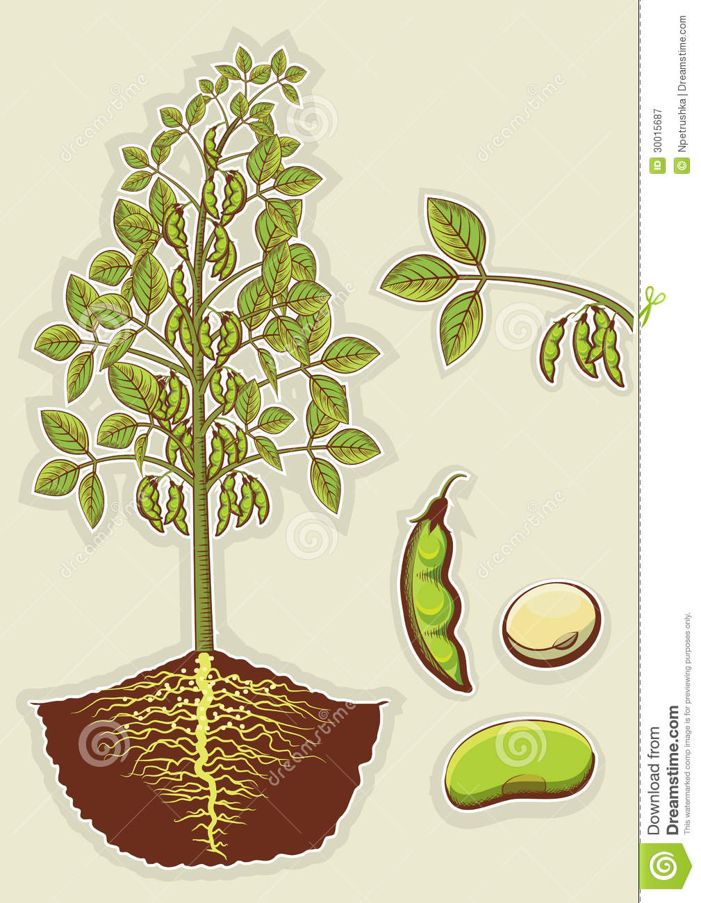 Soybean Plant.Vector Green Illustration Isolated F Royalty Free Stock ...