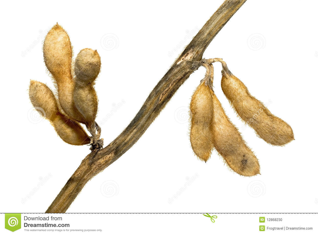 Soybean Pods Stock Photo - Image: 12868230