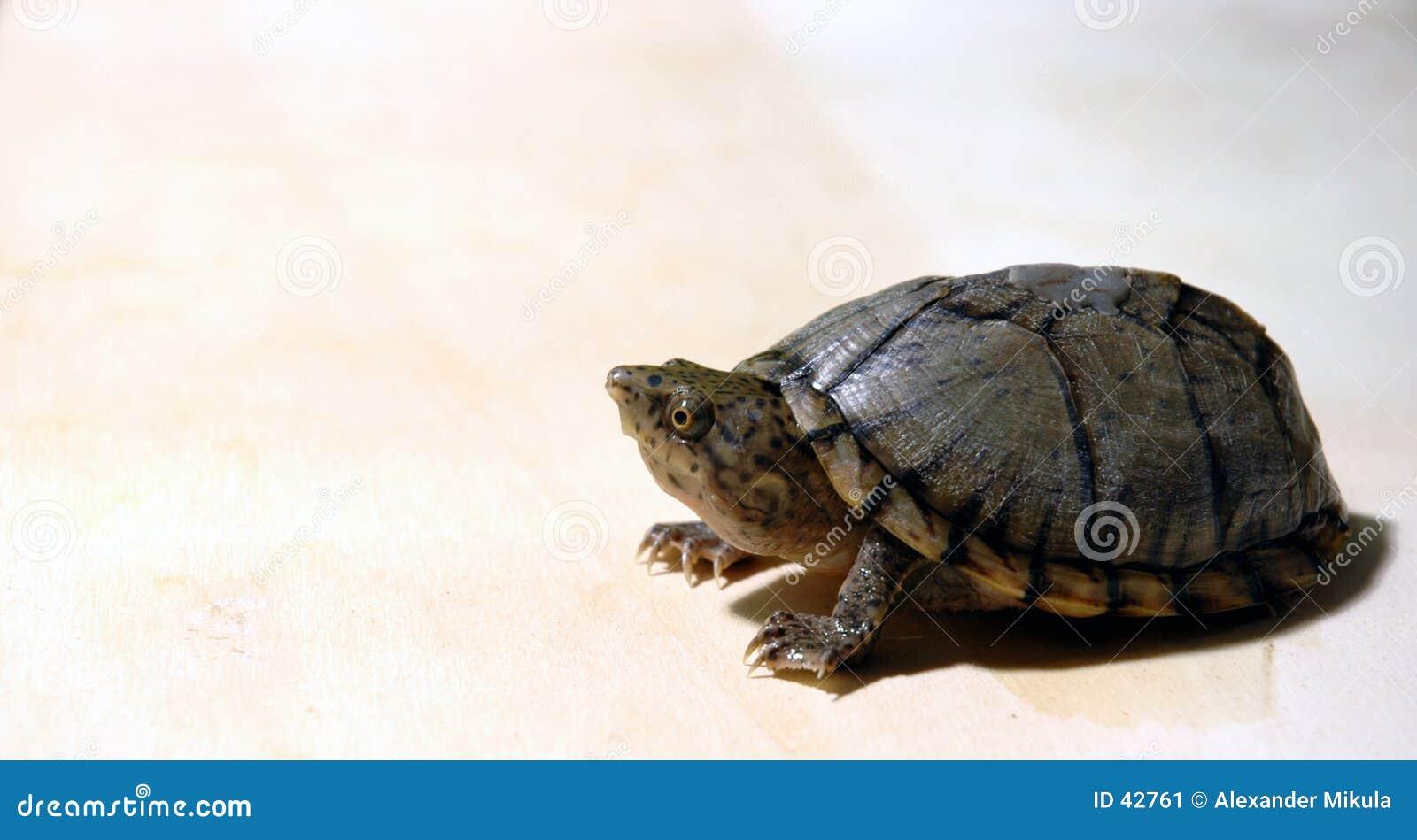 Spähen der Schildkröte