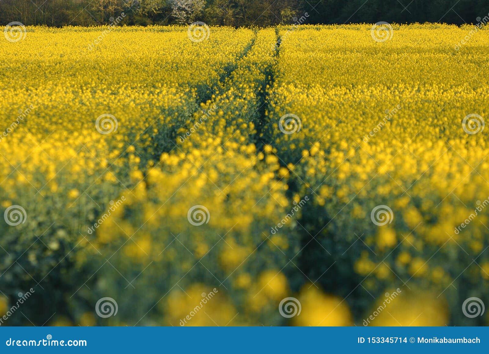 Spår som leder till och med gult Canolarapsfröfält med den selektiva fokusen med oskarp förgrund