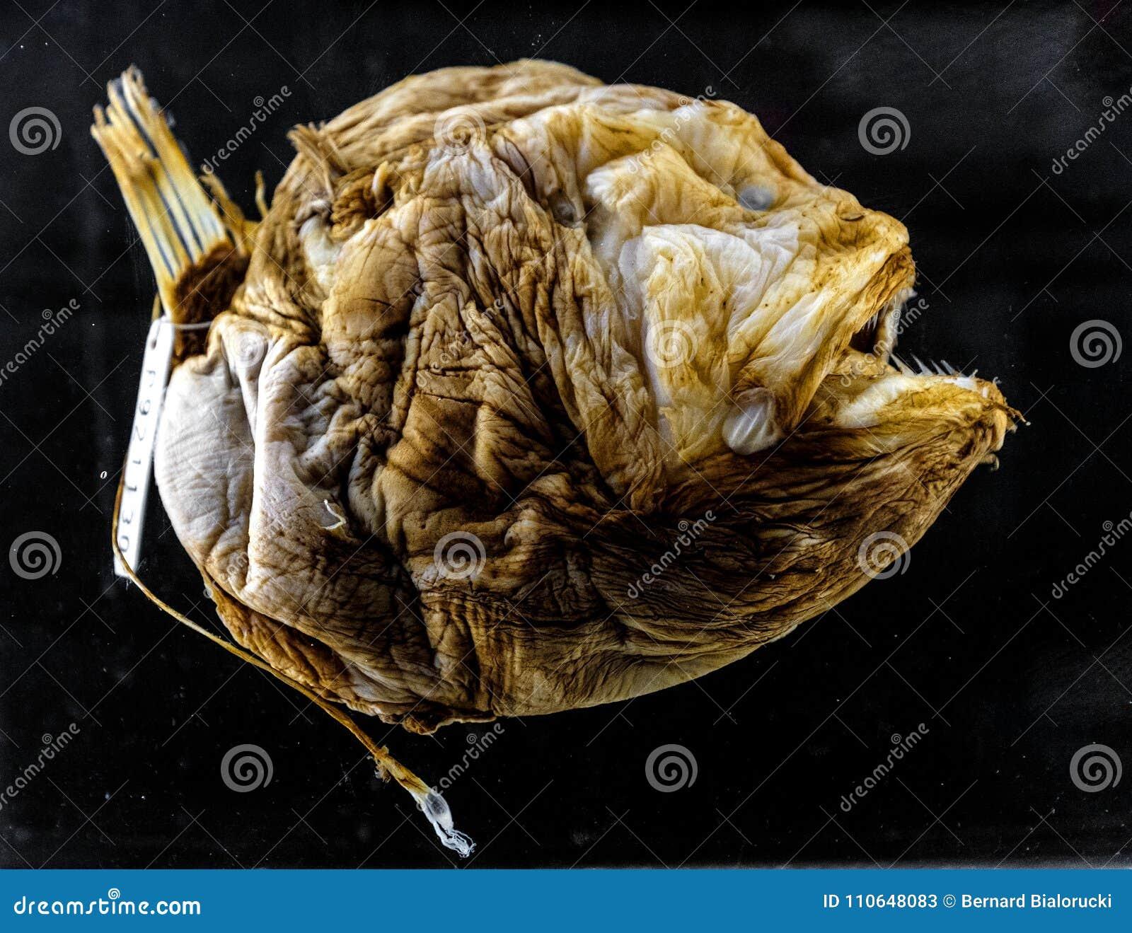 Spécimen d un poisson des grands fonds de Bufoceratias Wedli dans l exh zoologique