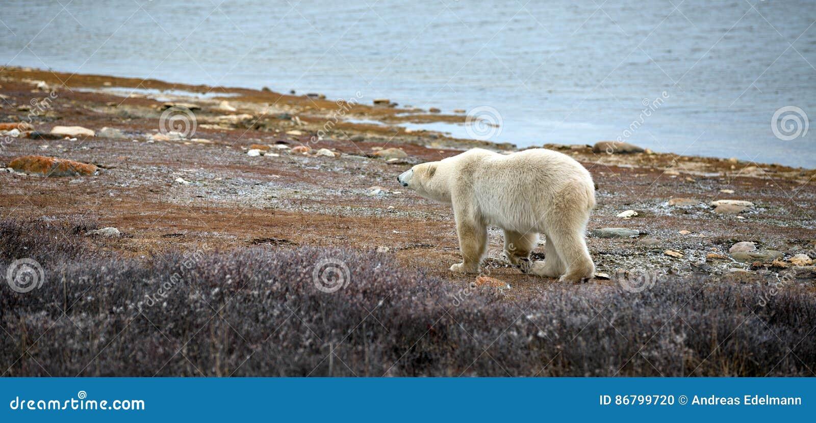 Spójrz biegunowy bear