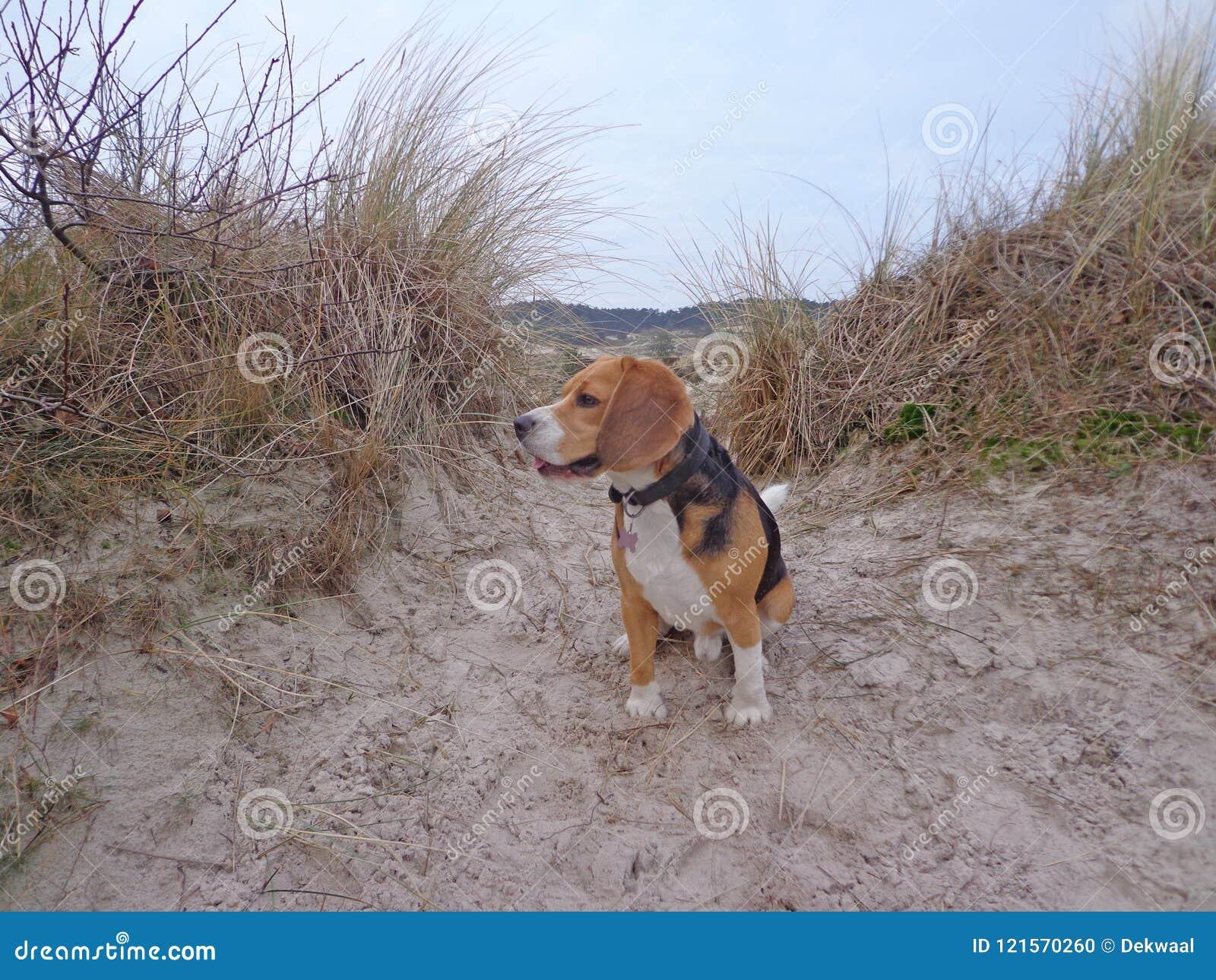 Spürhund, der bequem am Strand an der Höhle in den Dünen sitzt