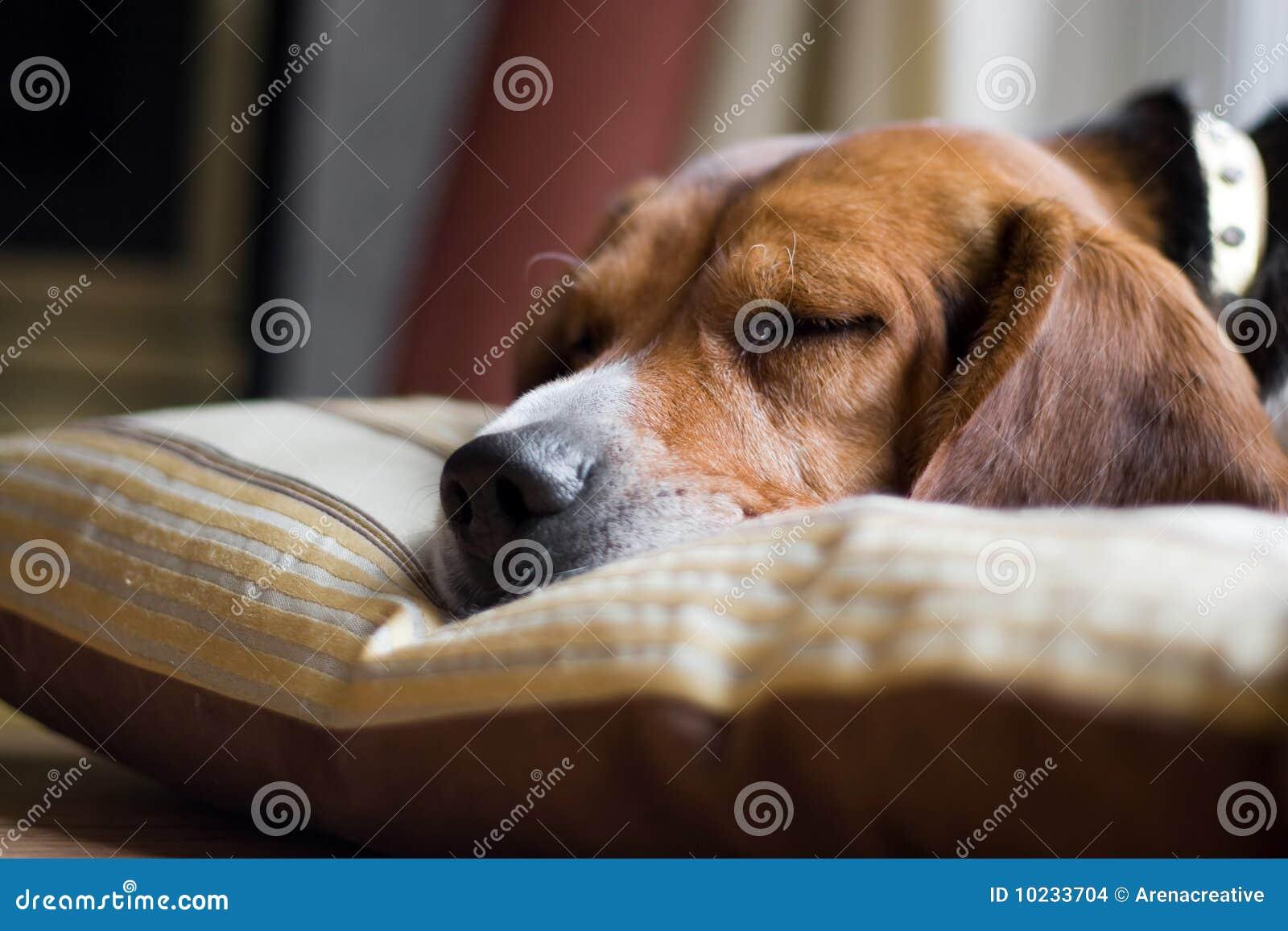 Spürhund-Hundeschlafen