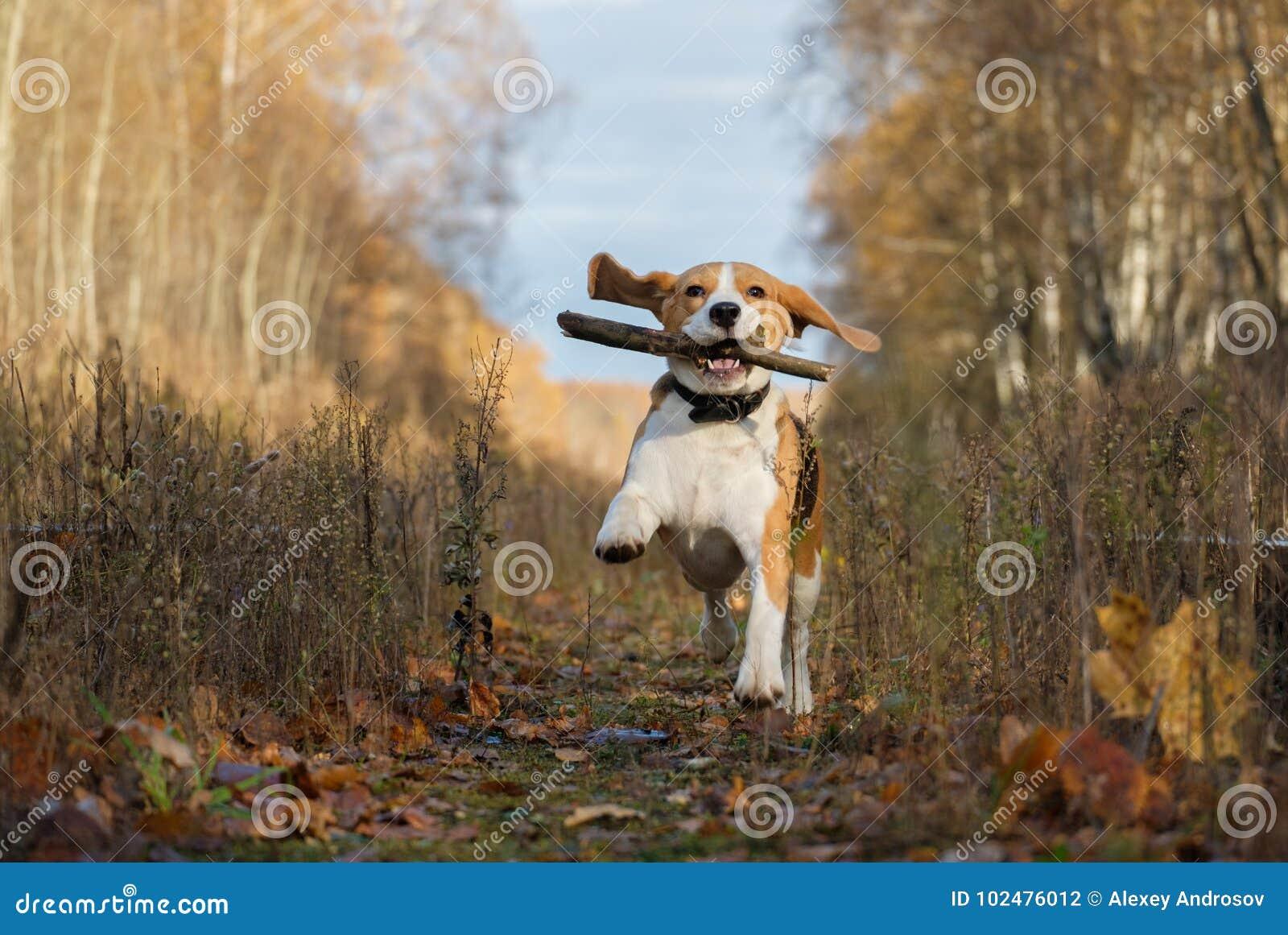 Spürhundhund, der mit einem Stock im Herbstwald spielt