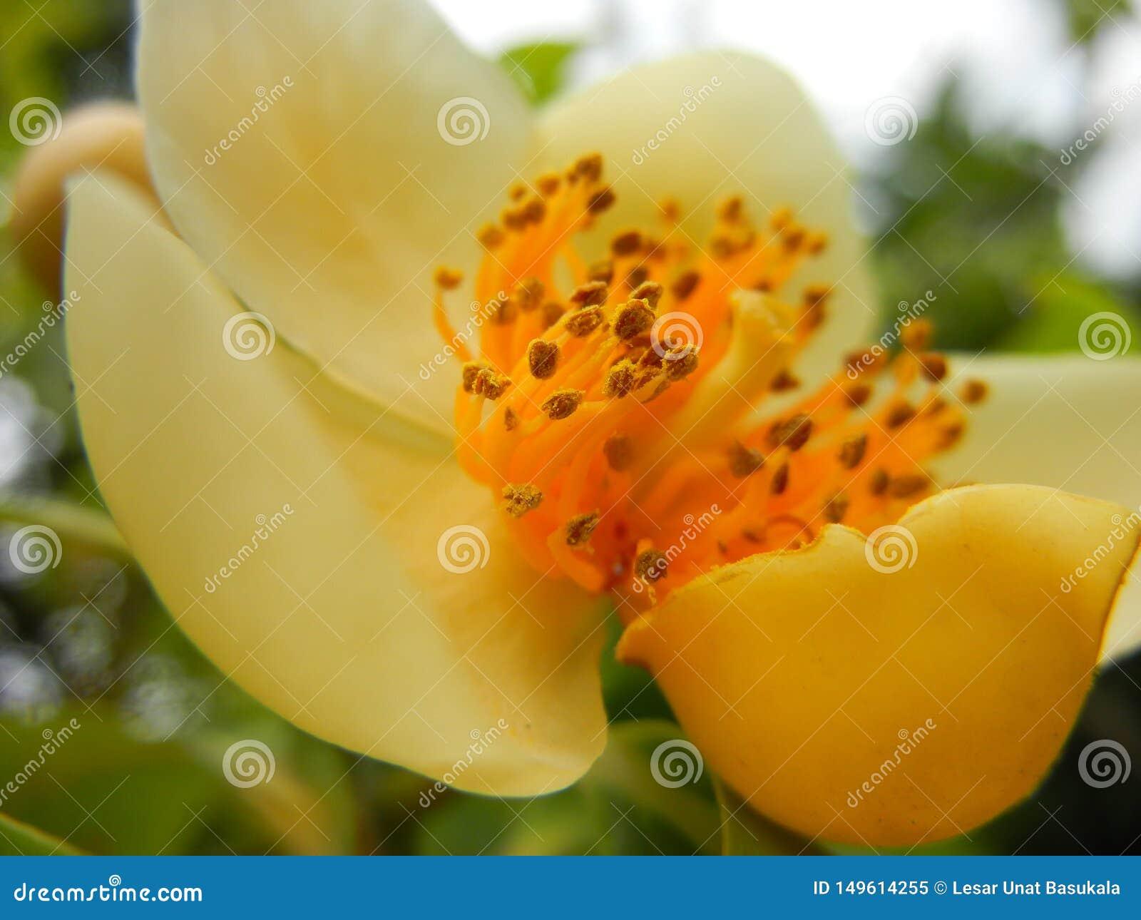 SP de Schima primer tirado macro de la flor petaled amarillenta