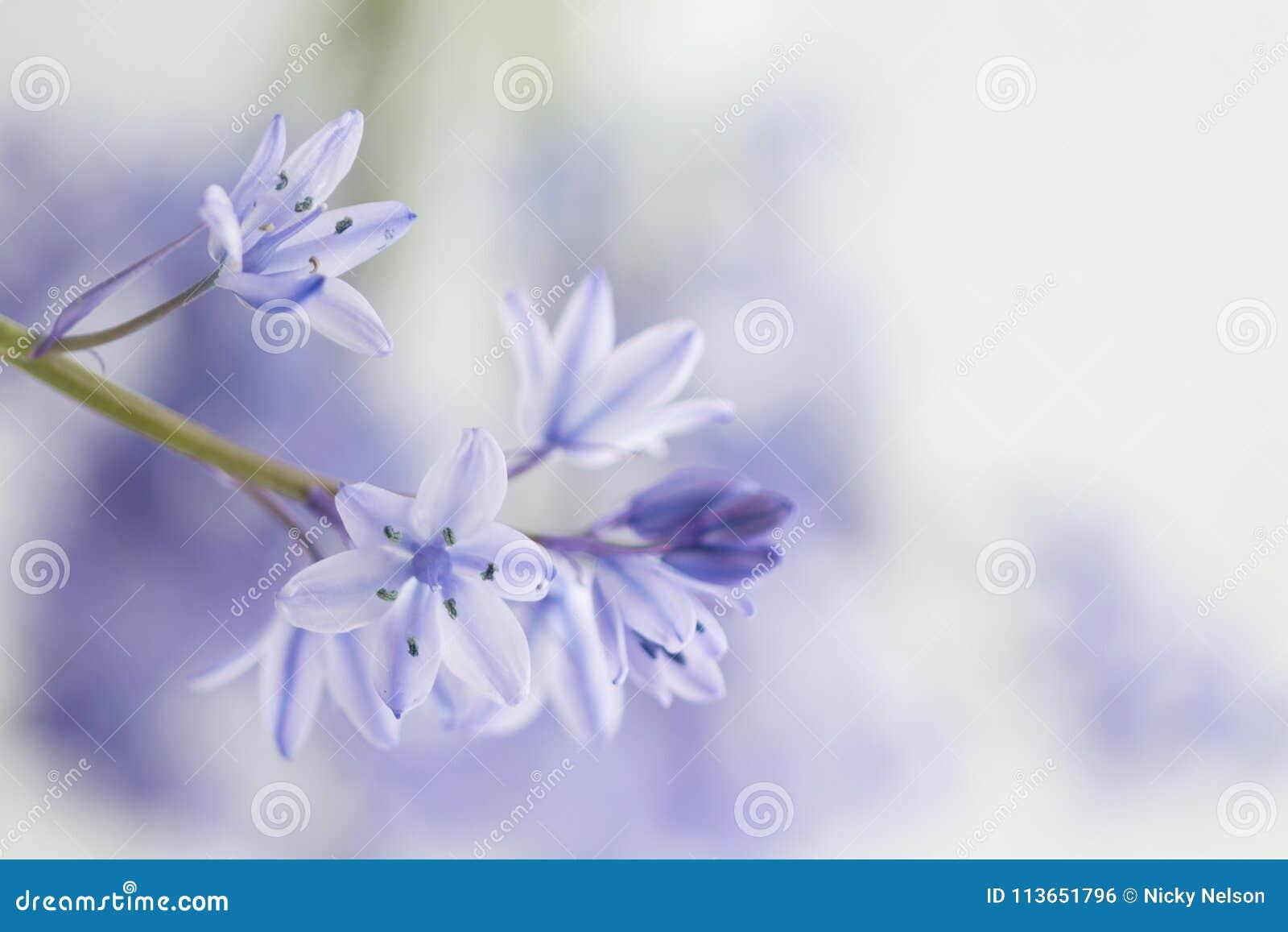 Spaans Klokje - Hyacinthoides-hispanica
