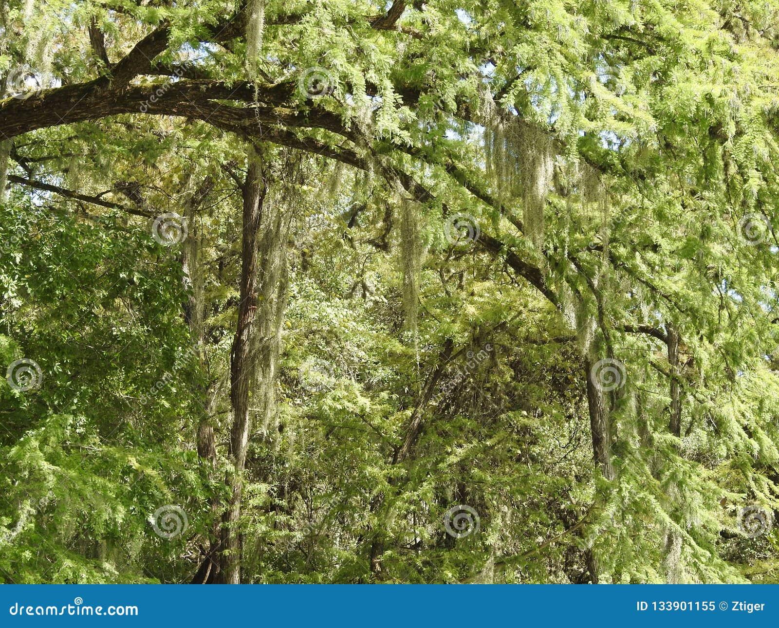 Spaans Moss Hanging van Kale Cipresbomen