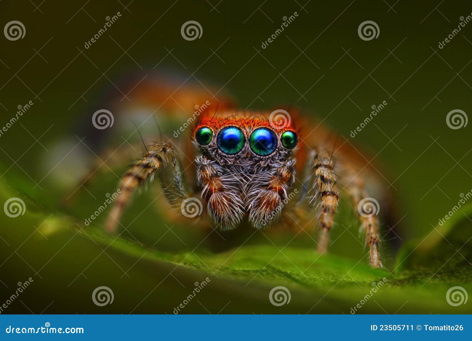Spaanse het springen spin Saitis barbipes