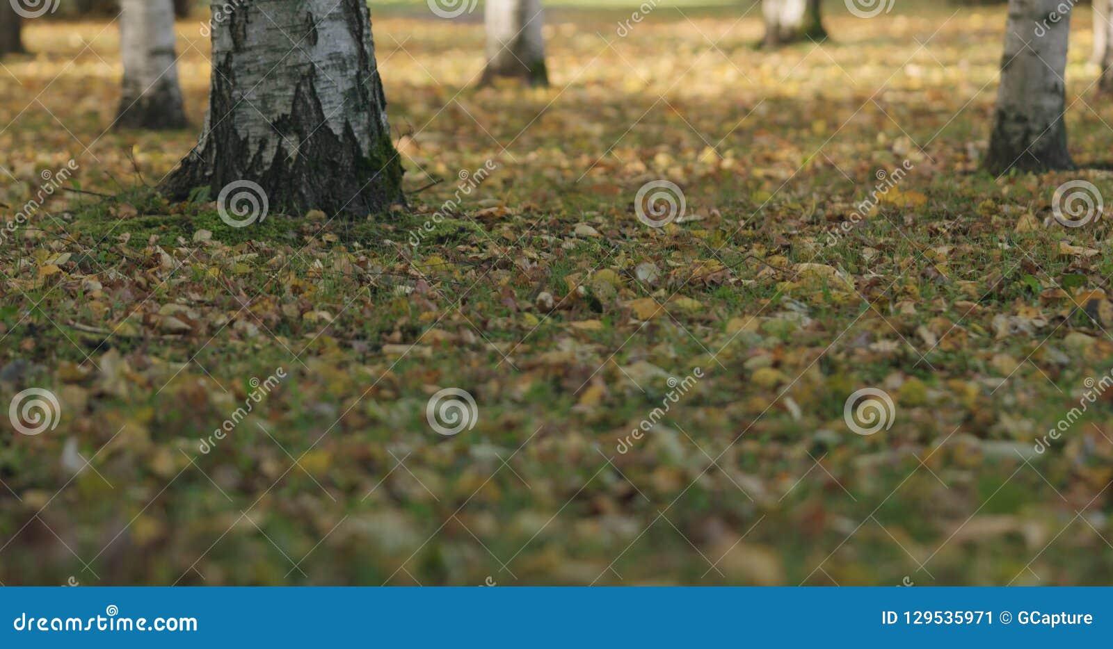 Spadać brzozy jesieni liście na trawie