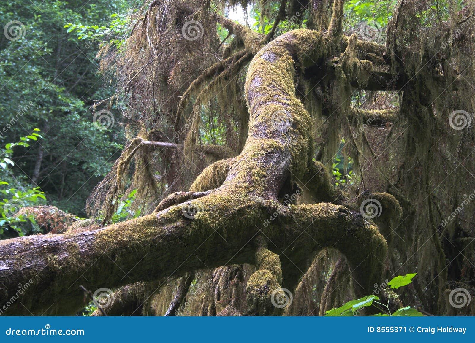 Spadać drzewo