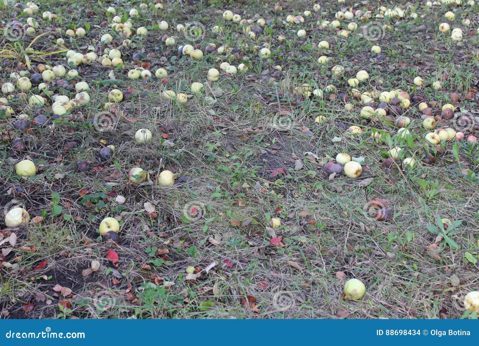 Spadać jabłko na trawie
