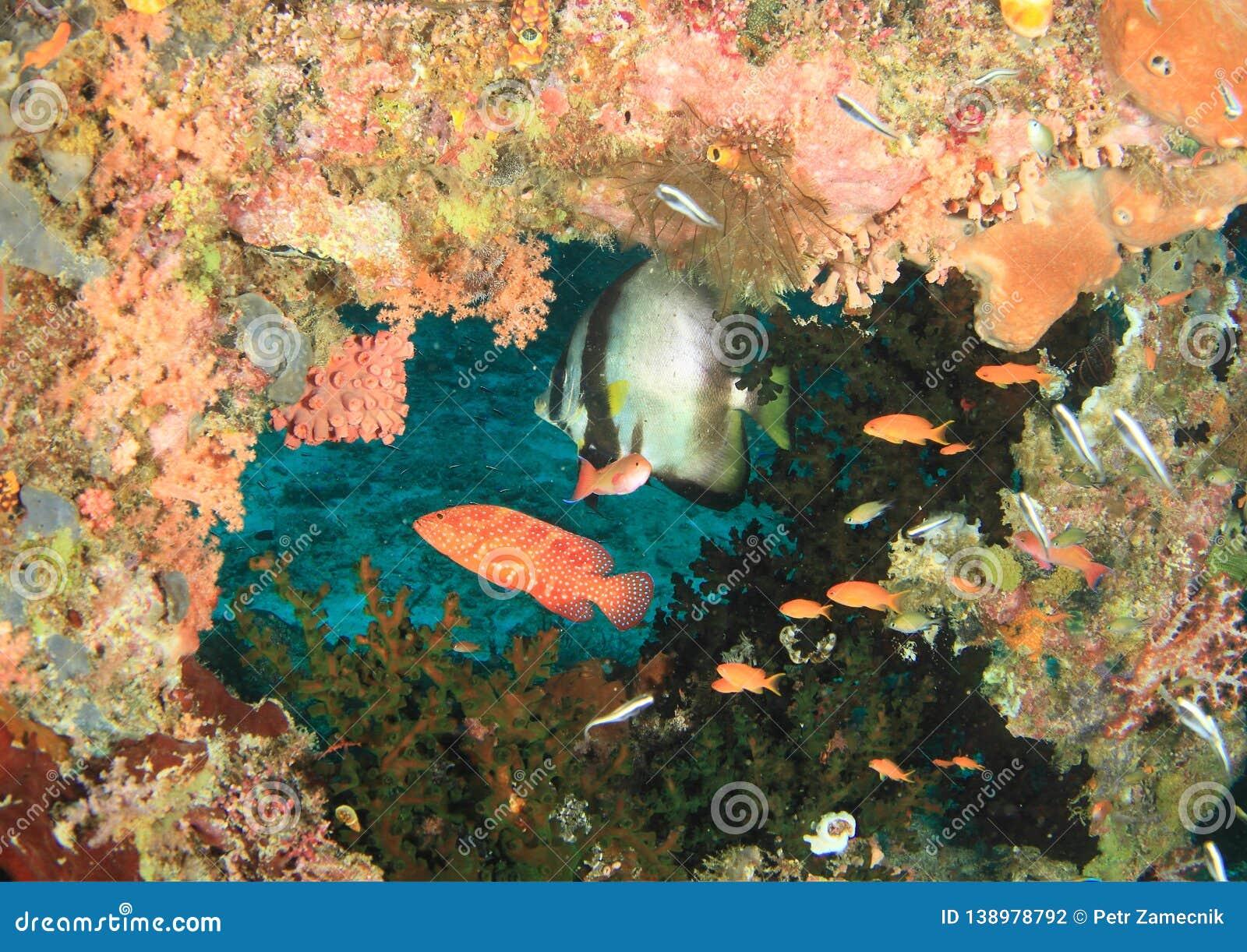 Spadefish Circural ψαριών και Grouper κοραλλιών