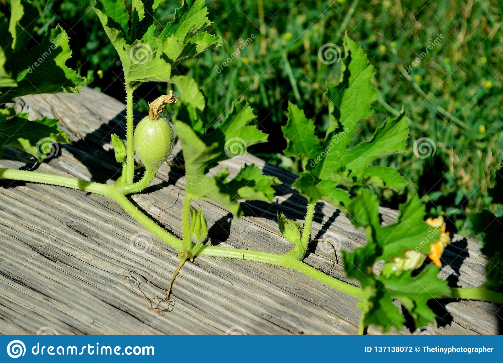 bb5e1051c2d Spaghetti Squash Fruit And Flower On Vine Stock Photo - Image of ...