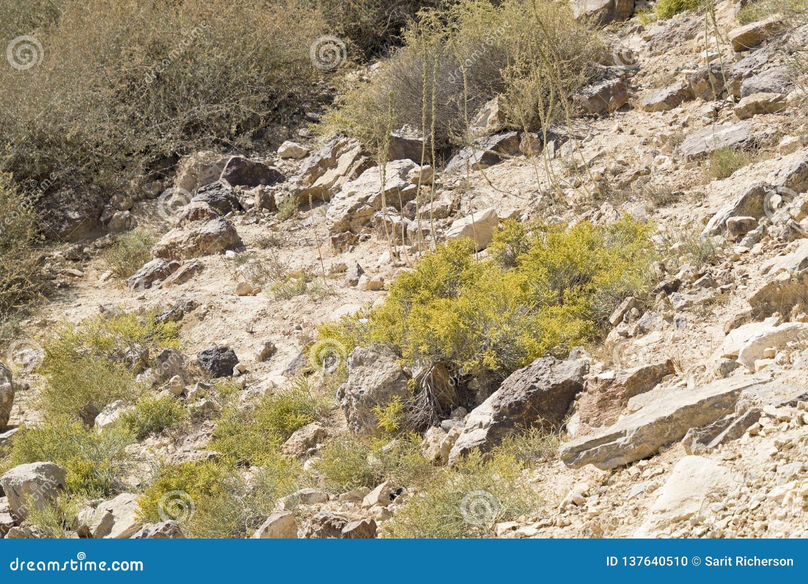 Spajający Anabasis kwitnienie w pustynia negew
