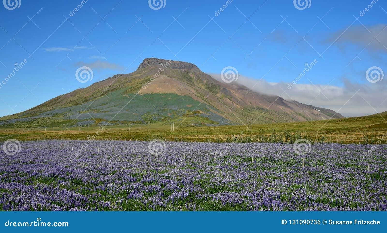 Spakonufell, une montagne près de la petite ville Skagaströnd en Islande Un champ des lupins dans l avant Péninsule Skagi