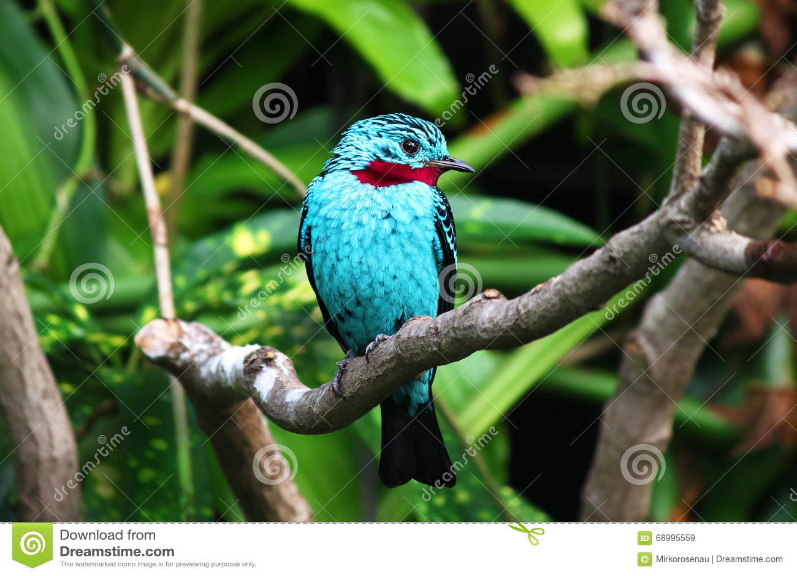 Spangled cayana van Cotinga van de cotinga blauwe tropische vogel