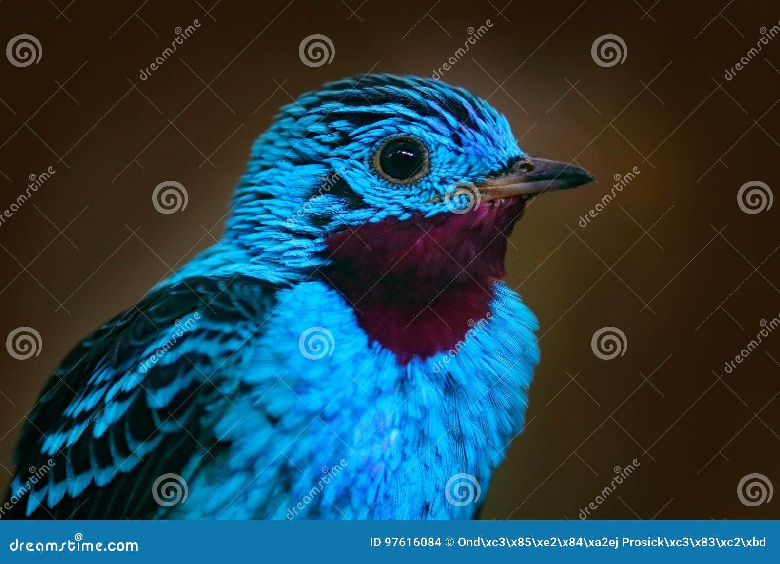 Spangled Cotinga, Cotinga cayana, detaljstående av den exotiska sällsynta vändkretsfågeln i naturlivsmiljön, mörker - grön skog,