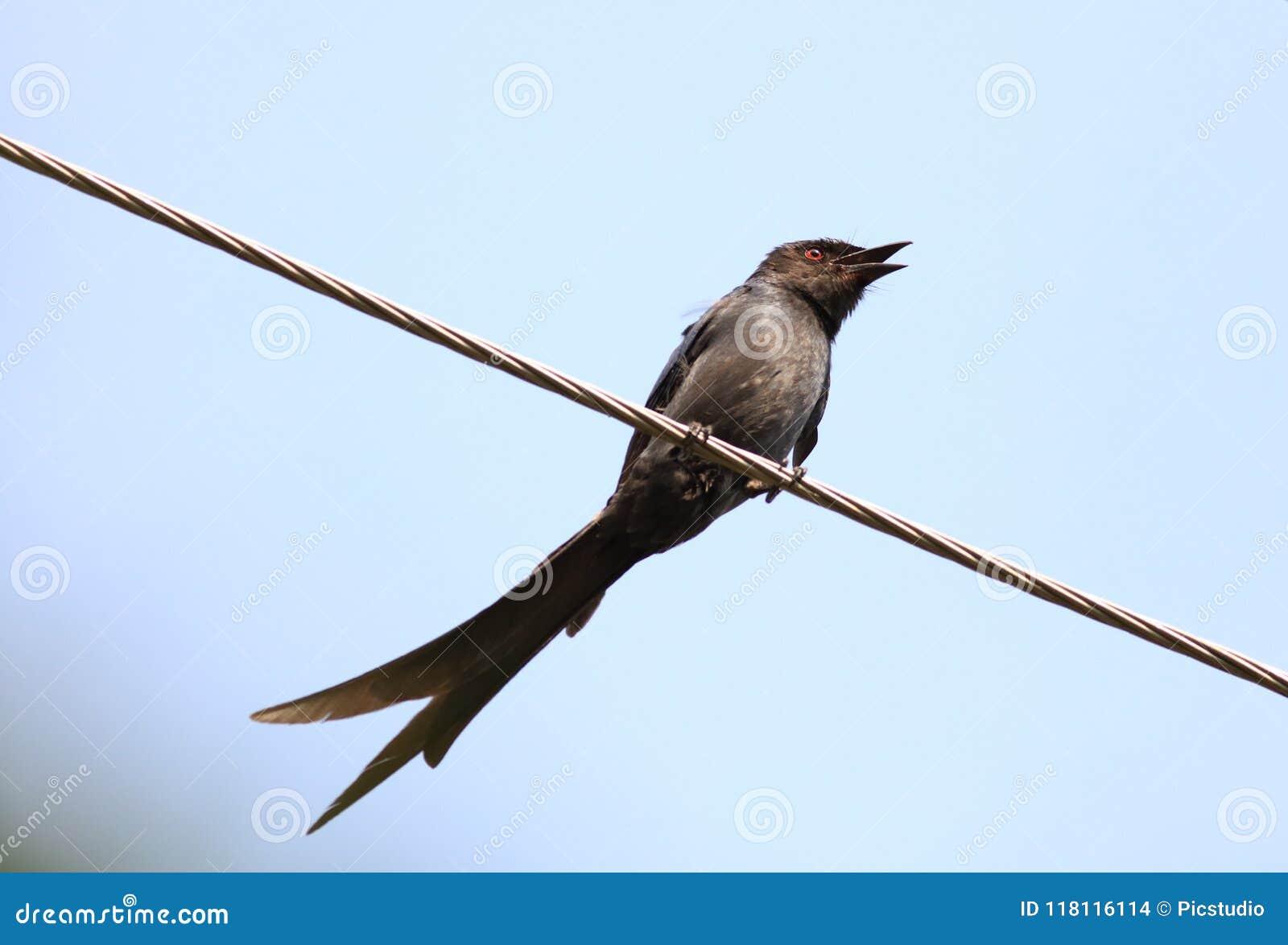 Spangled drongo