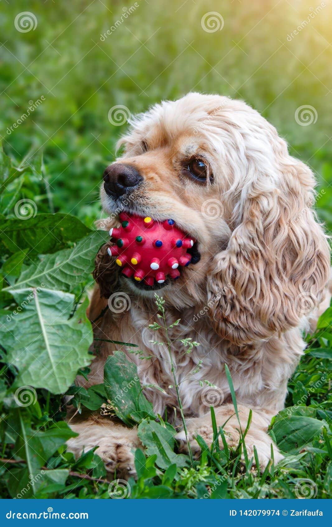 Spaniel кокерспаниеля сидит на траве с шариком во рте Собака играя с шариком