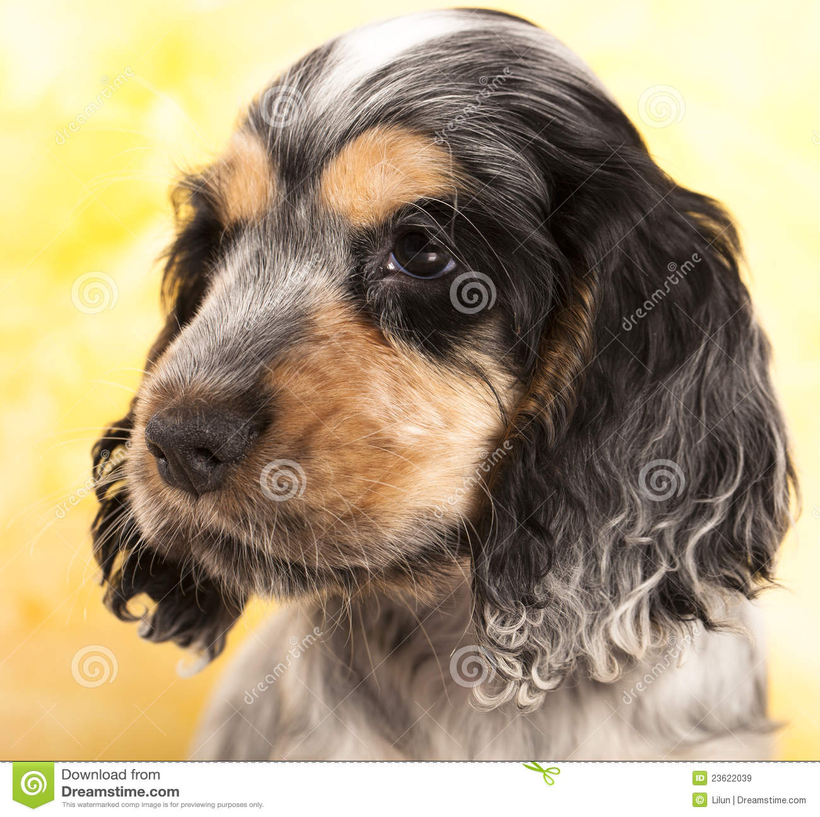 Spaniel щенка кокерспаниеля английский