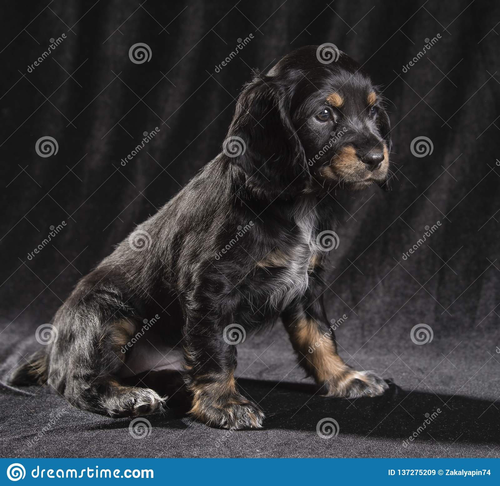 Spaniel щенка черной собаки русский на черной предпосылке