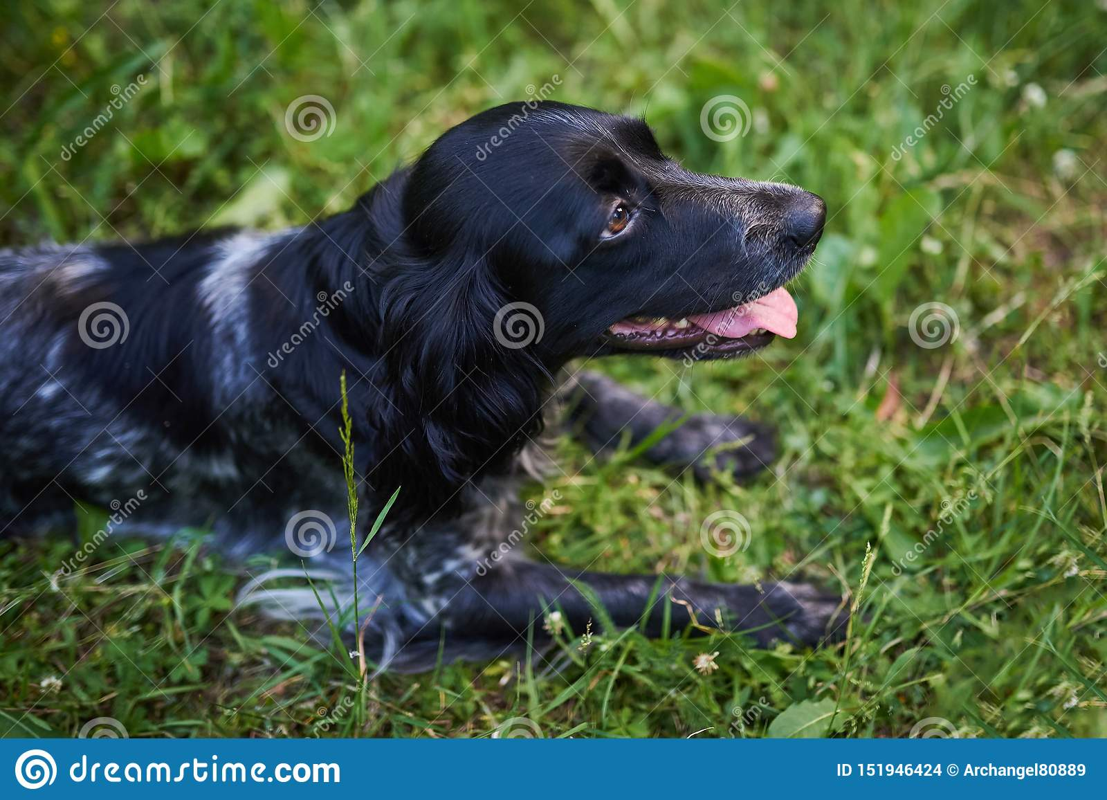 Spaniel cercante russo che si trova sull erba, lingua fuori