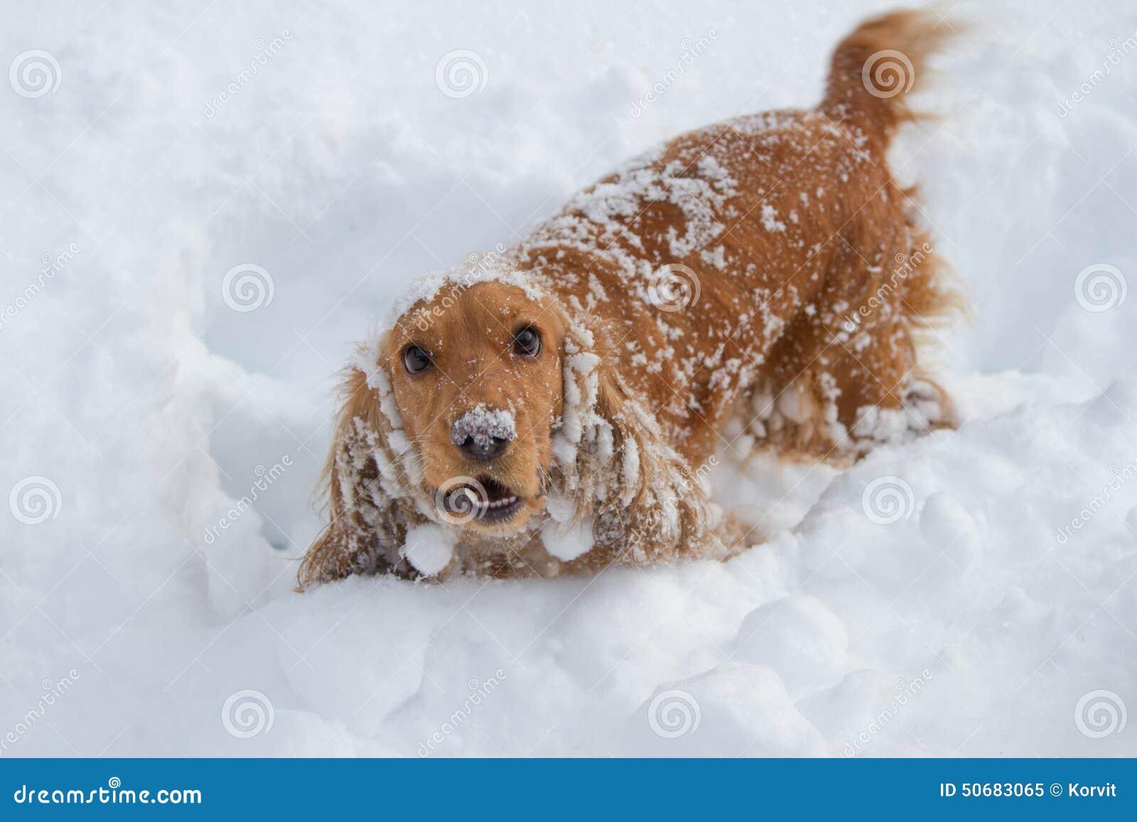 Spaniel in de sneeuw