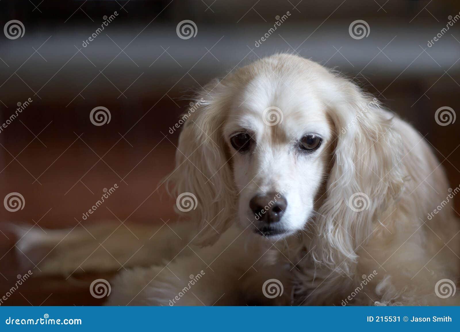 Spaniel di Cocker con lo sguardo triste