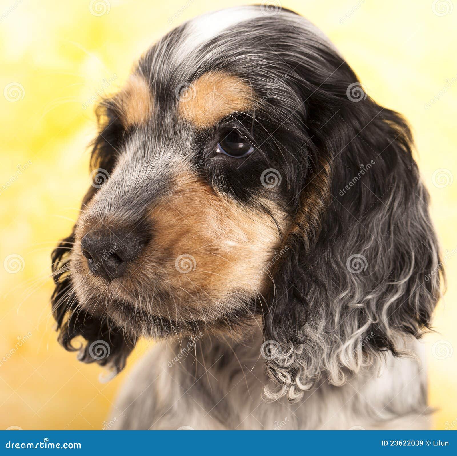 Spaniel di cocker inglese del cucciolo